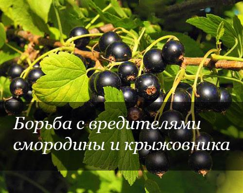 Защита смородины и крыжовника от вредителей и болезней