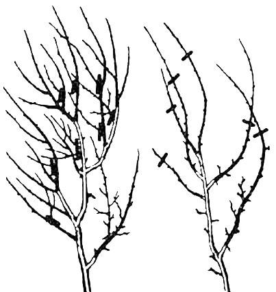 Обрезка слабозагущенных и сильнозагущенных сливовых деревьев