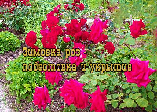 Подготовка и укрытие роз на зиму